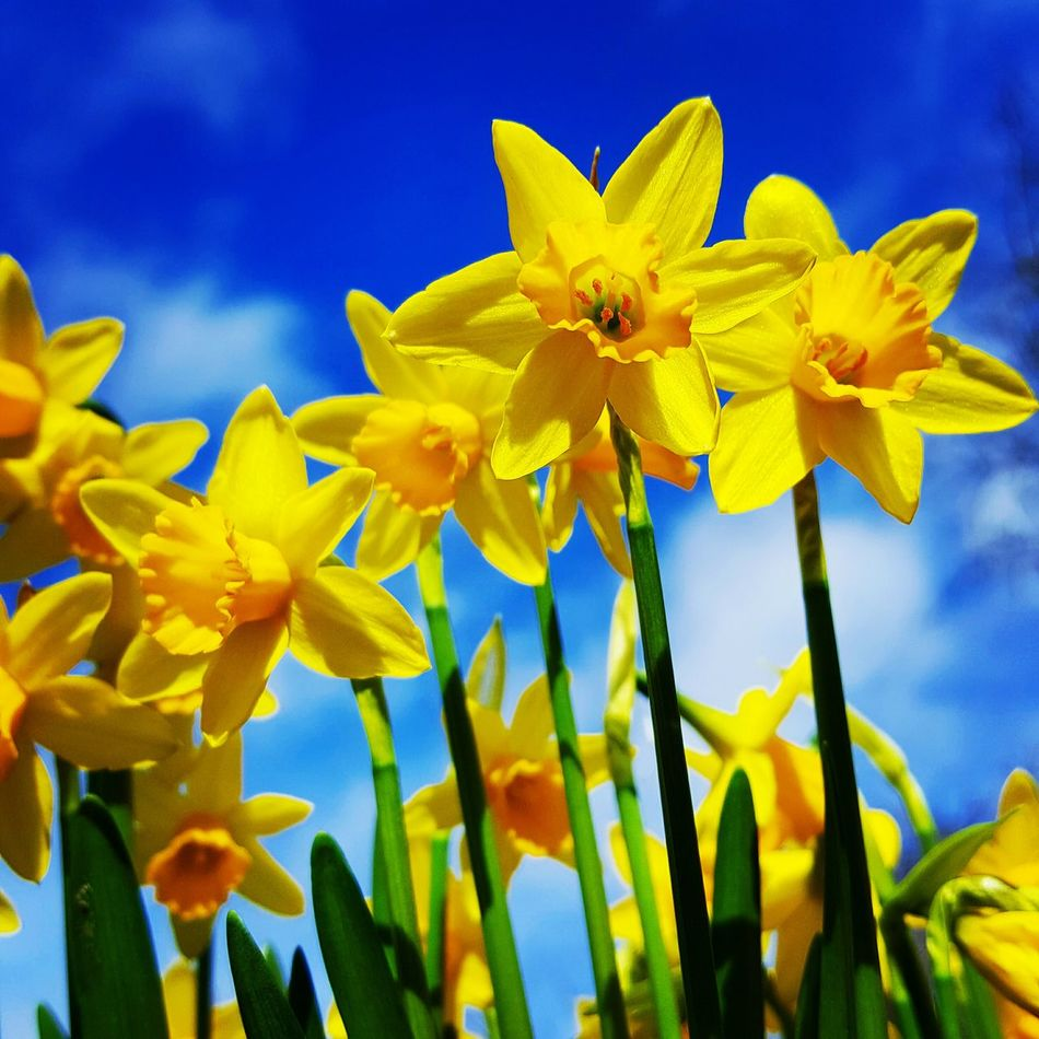 Daffodils. Yellow Blue Flower Close-up No People Nature Beauty In Nature Plant Sky Fragility Day Outdoors Flower Head Springtime Flowers Garden Flowers Garden Photography Springtime Bulb Spring Flowering Bulb Narcissus, Spring Flower, Spring Flowers, Spring Tete Et Tete