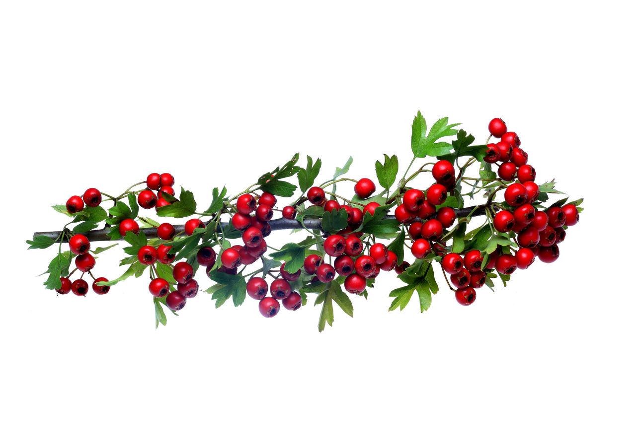 red ripe Hawthorn berries Berries Close-up Flower Food Freshness Fruit Hawthorn Hawthorne Healthy Eating Nature No People Red Studio Shot White Background