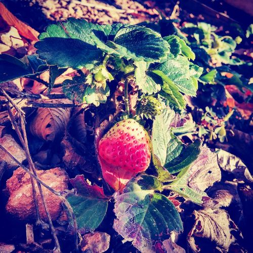 çilek EyeEm Nature Nature Life Saimbeyli Sektör Yapım EyeEm Best Shots EyeEm Nature Lover Strawberry Strawberry Love