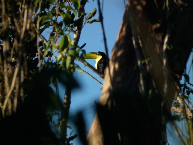 Toucan, Yucatan Peninsula Beauty In Nature Bird Bird Watching Forest Nature Through Trees Toucan Tree Tropical Wild Wildlife Yucatan Mexico Yucatan Peninsula Yúcatan