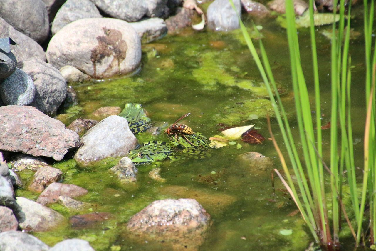 Close-Up Of Insect On Frog In Pond