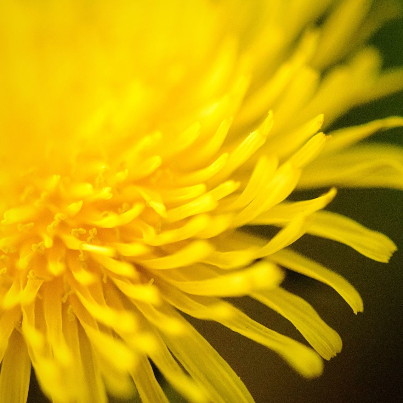 Flower Yellow Fragility Petal Freshness Growth Beauty In Nature Nature Close-up Full Frame No People Flower Head Plant Backgrounds Day Blooming Outdoors Macro Urban Nature Summer Yellow Summertime
