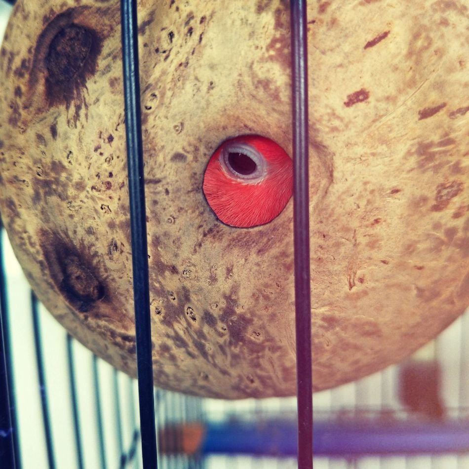 Are you looking at me? Close-up Metal Red No People Outdoors Day Birds For Sale Birds Of EyeEm  Bird Photography Coconut Shell Coconut Cage Steelcage Lovebird Lovebirds Birdy Lookatme Eye Animal Pet Vacations