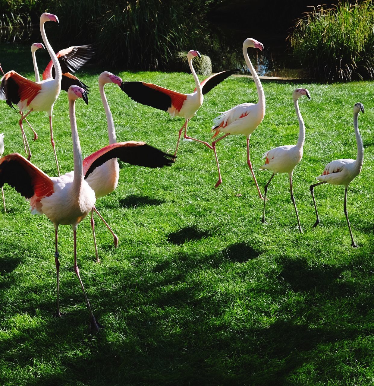 animal themes, bird, animals in the wild, nature, no people, animal wildlife, grass, outdoors, day, beauty in nature, flamingo, water
