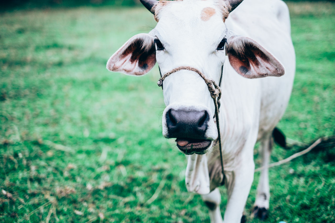 Animal Animal Care Animal Head  Animal Themes Bovine Close-up Cow Domestic Animals Field Focus On Foreground Free Range Grass Grass Feed Landscape Livestock Looking At Camera Mammal Meat Nature One Animal Organic Outdoors Pasture Protein Vaccine