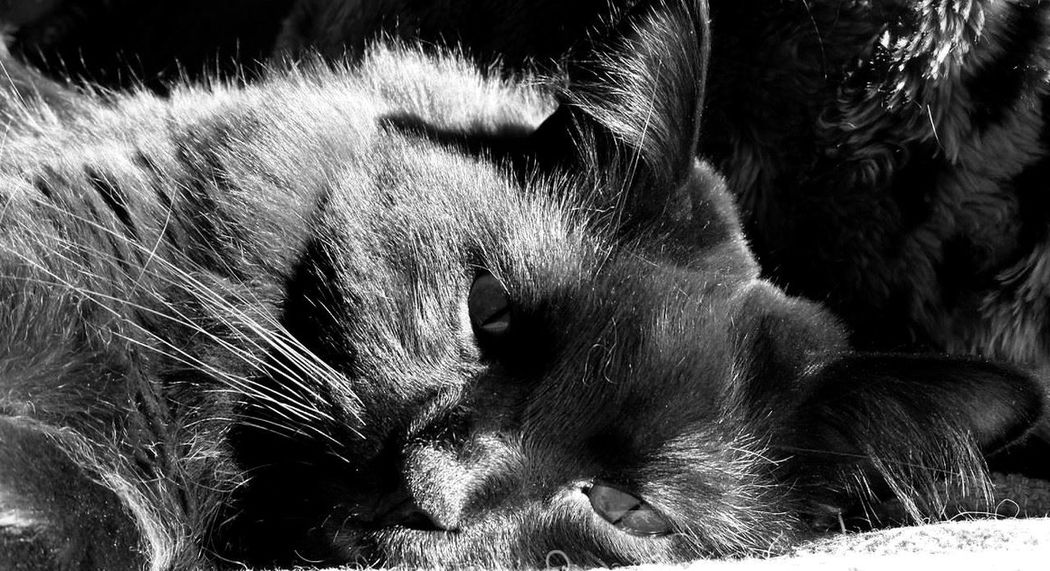 Black And White Photography Black Cats Cat Lovers Cat Model Close-up Cuddlebuddy Feline Feline Companions Looking At Me No People Purrsonality Ragdoll Cat Ragdoll Cats Relaxed Cat Selective Focus Sleepy Kitty Watching What I'm Up To