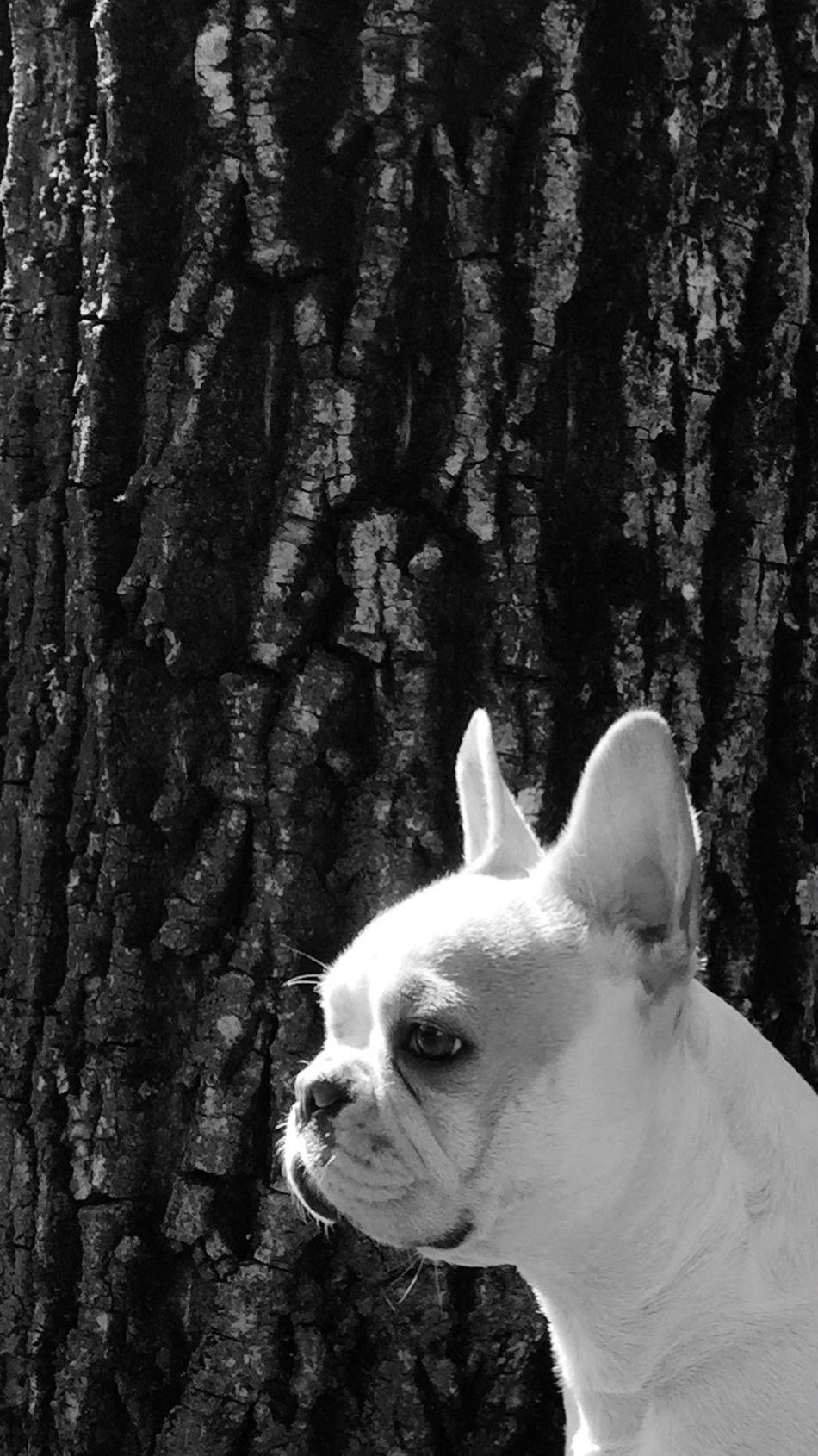 Frenchbulldog Pets Blackandwhite Blackandwhite Photography Chloe ❤