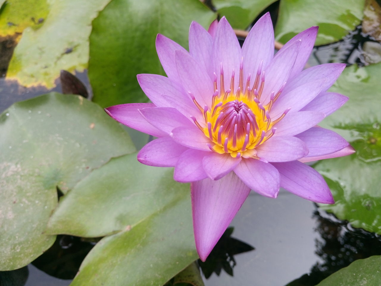 Lotus Flower Floralphotography Floral #flower Indian School Of Business EyeEm Best Shots Sony Xperia M5 Sony Xperia Photography. EyeEm Nature Lover Flowers Garden Photography Eyeem Mornings Greenery Natures Beauty