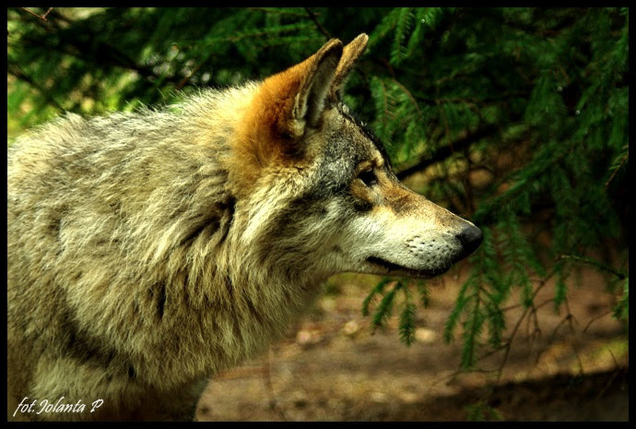 one animal, animal themes, animals in the wild, mammal, no people, day, side view, outdoors, nature, close-up