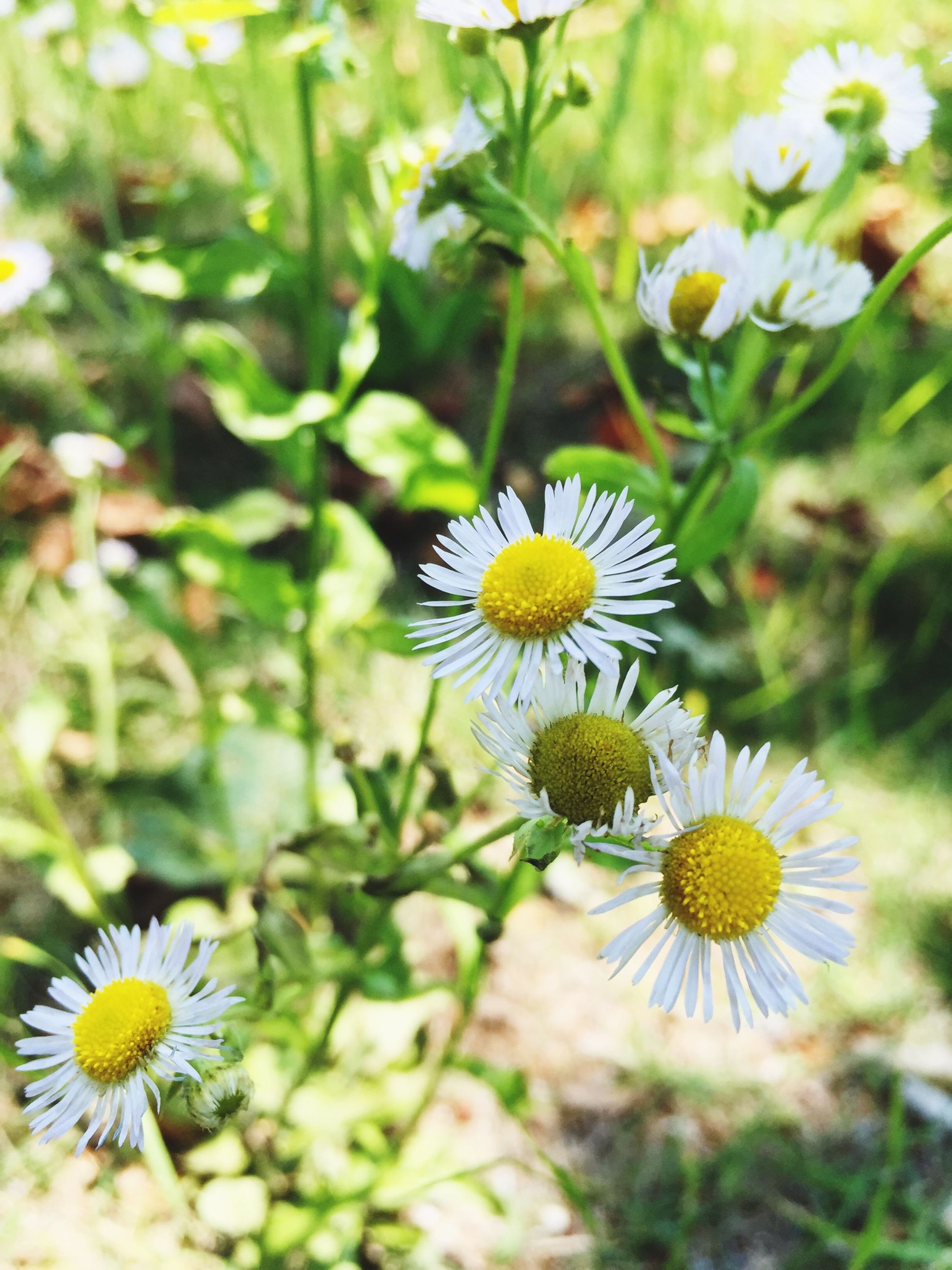 flower, freshness, petal, fragility, daisy, flower head, growth, pollen, beauty in nature, yellow, blooming, white color, focus on foreground, nature, plant, close-up, field, insect, high angle view, in bloom