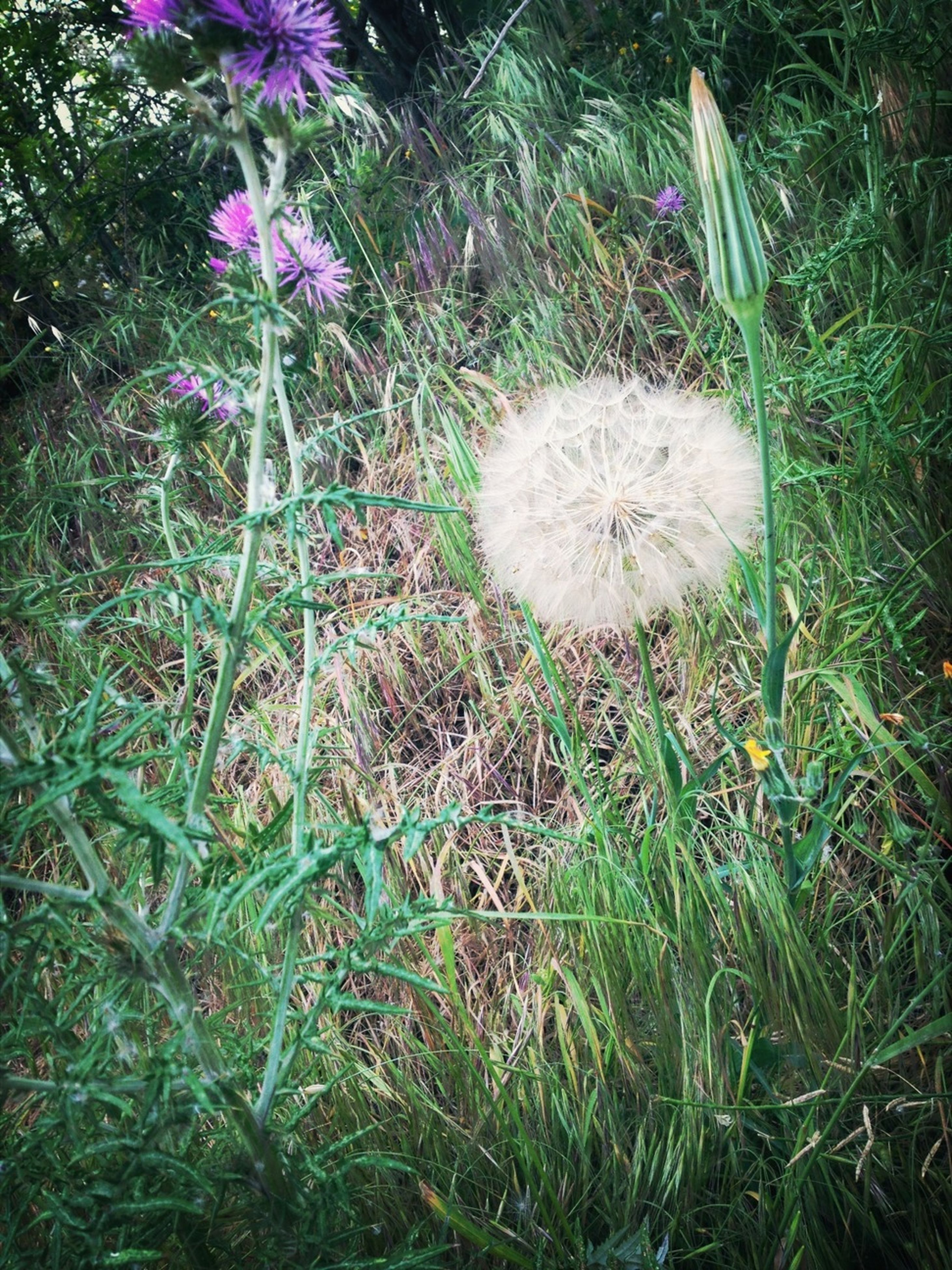 flower, grass, growth, fragility, plant, field, freshness, beauty in nature, nature, flower head, high angle view, green color, white color, petal, dandelion, blooming, grassy, wildflower, close-up, outdoors