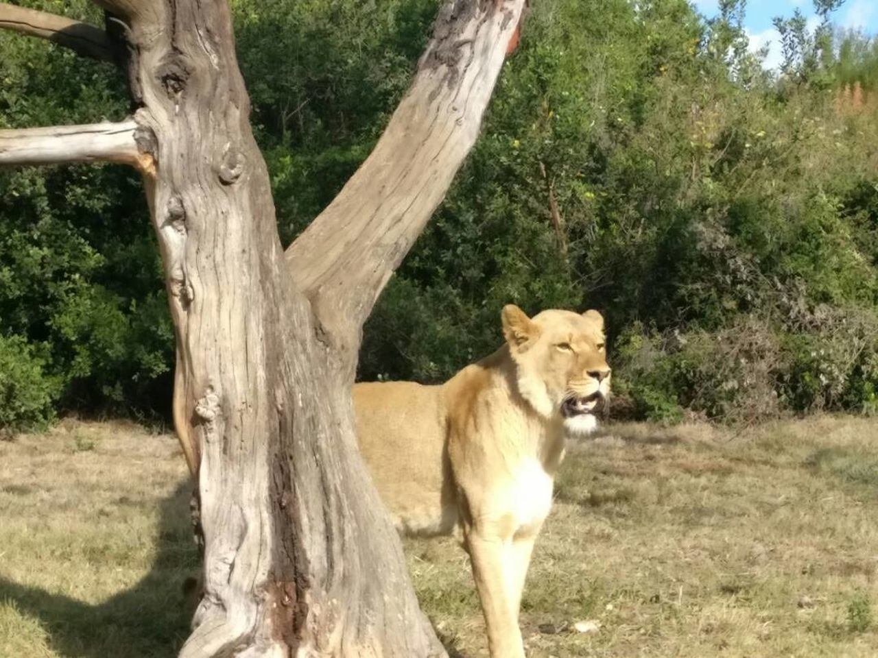 Tree Animal Themes Mammal One Animal Tree Trunk Day Nature Animals In The Wild No People Outdoors Lion - Feline Grass Outdoor Photography Travel Destinations Lions EyeEmNewHere Animals In The Wild Tree Trunk Tree Lion Sunlight Lioness Nature Sky Animal Wildlife