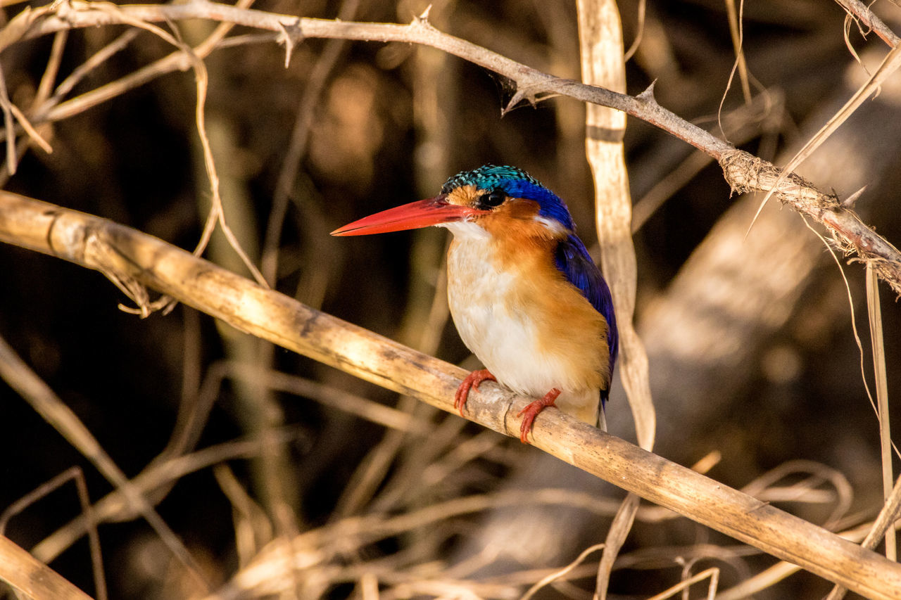 Animal Themes Animal Wildlife Animals In The Wild Beauty In Nature Bird Branch Close-up Day Focus On Foreground King - Royal Person Kingfisher Malachit Nature No People One Animal Outdoors Perching Robin Tree Twig
