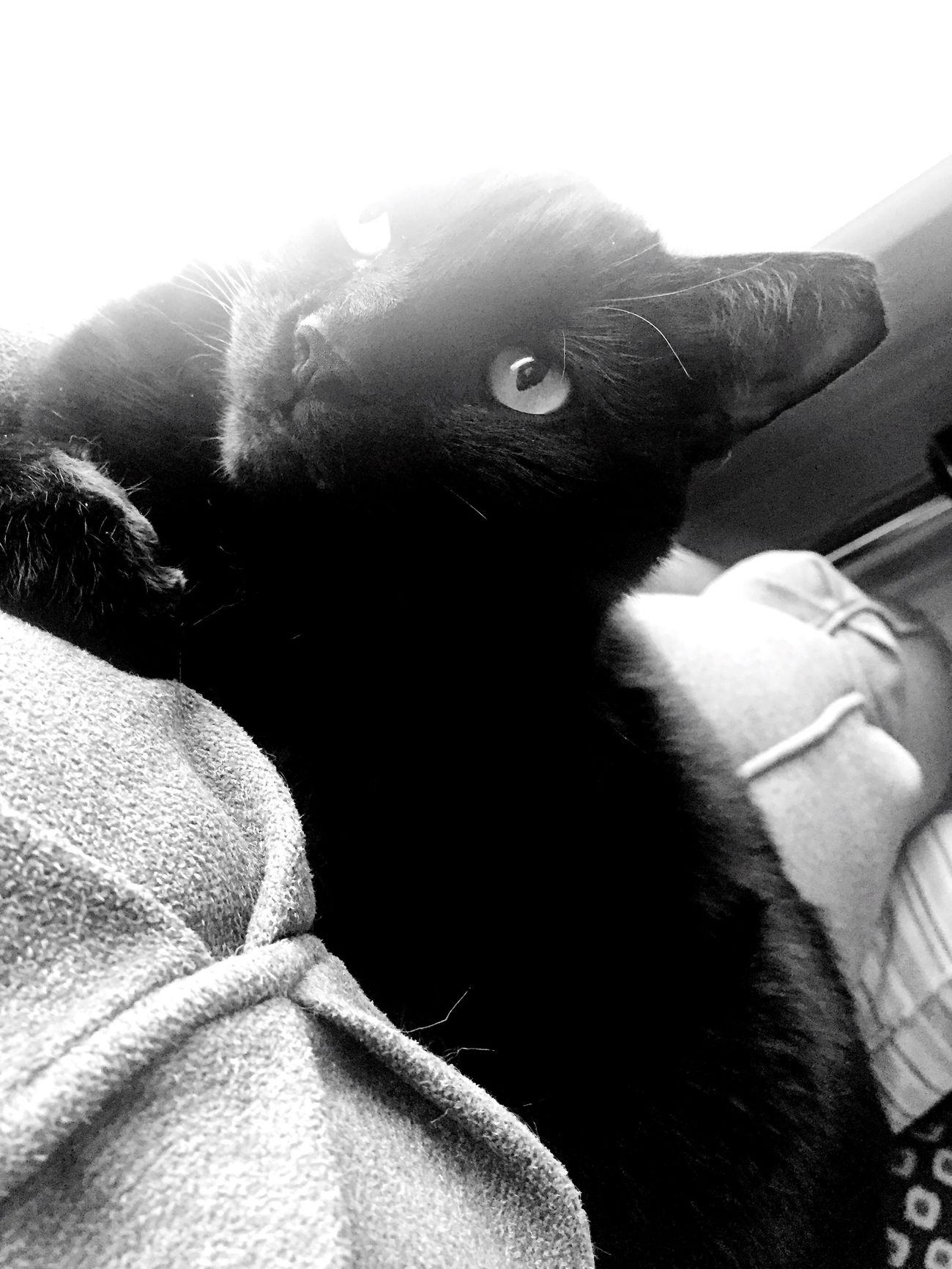 Chillin Pets Cat Blackandwhite BLackCat Taking Photos
