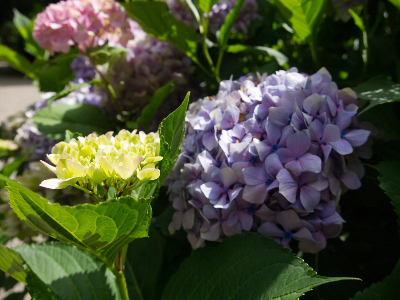Beauty In Nature Blooming Close-up Day Flower Flower Head Fragility Freshness Growth Hydrangea Leaf Lilac Nature No People Outdoors Petal Plant Purple