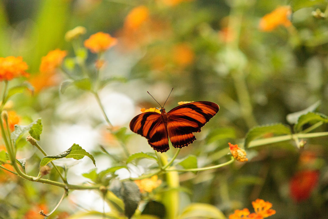 Tiger longwing butterfly, Heliconius hecale, in a botanical garden in spring Butterfly Delicate Flower Fly Garden Heliconius Hecale Leaves Longwing Butterfly Metamorphosis Orange Flower Orange Winged Tiger Longwing Butterfly Wings