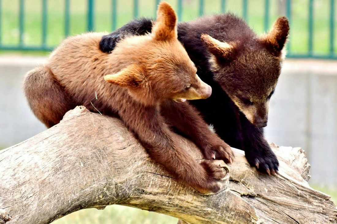 Hanging Out Check This Out Nature Enjoying Life Animals Bear Bear Cubs Wildlife