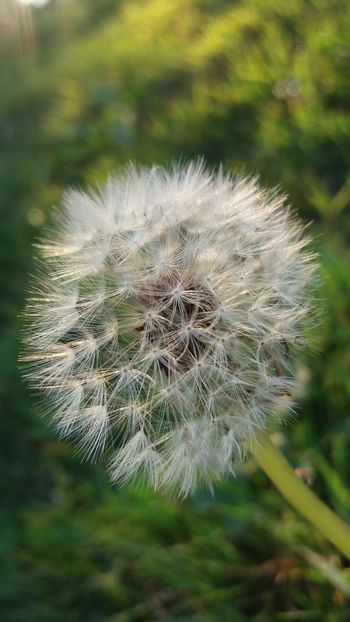 Fragility Dandelion Close-up Growth Flower Focus On Foreground Freshness Plant Uncultivated Softness Stem Nature Seed Beauty In Nature In Bloom Flower Head Botany Single Flower Springtime Macro