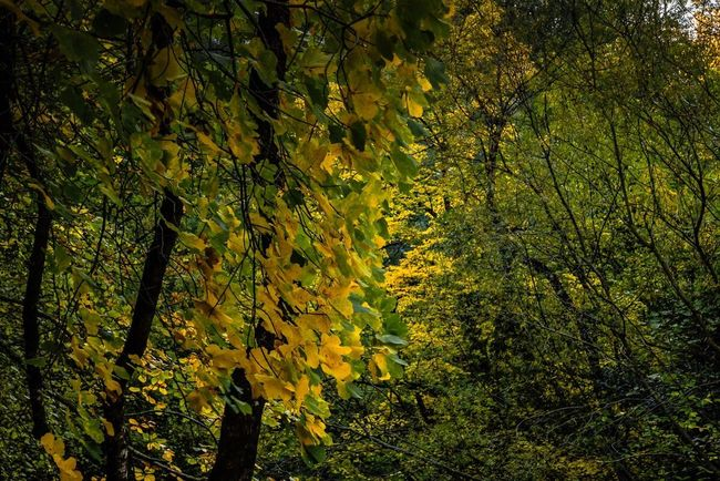 Couleurs d'automne Tree Nature Beauty In Nature Leaf Yellow Outdoors Autumn