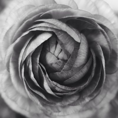 the wordless poet Peony  Unfolding Monochrome Nature Beautiful Hello World Taking Photos Leica D-lux Typ109 Background Close-up