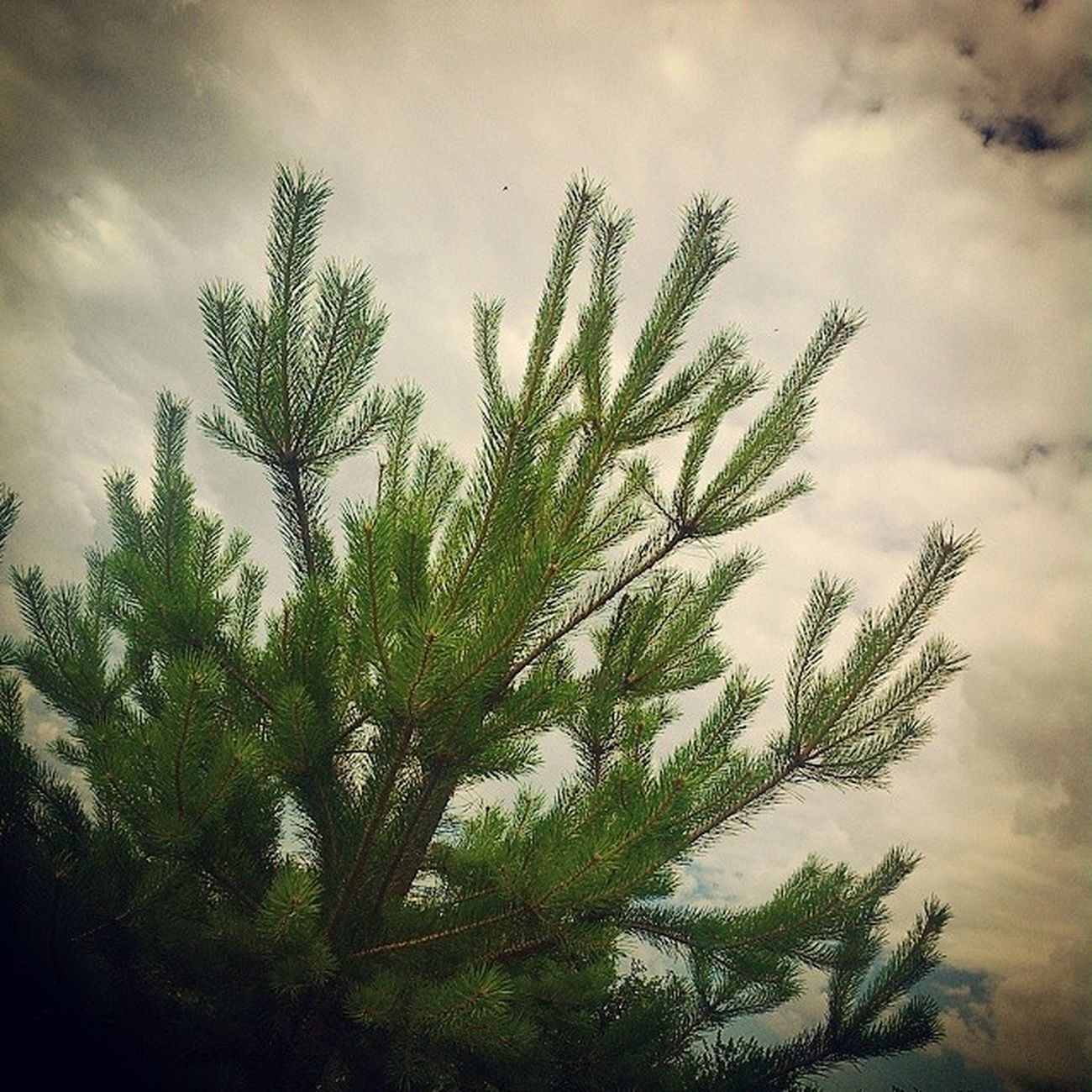 сосна облачно Pine Tree Clouds