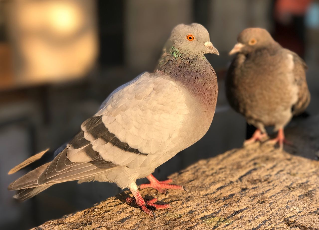 bird, animal themes, animals in the wild, animal wildlife, focus on foreground, perching, no people, day, close-up, nature, outdoors, mourning dove
