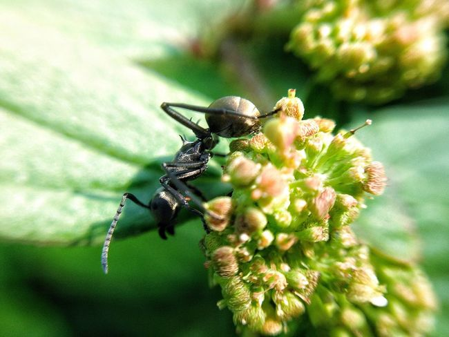 Black ant on flower Ant Black Ant Insect One Animal Animal Themes Animals In The Wild Wildlife Flower Close-up Freshness Fragility Selective Focus Beauty In Nature Nature Pollination Plant Focus On Foreground Growth Zoology Petal Springtime Fire Ant Bud Macro