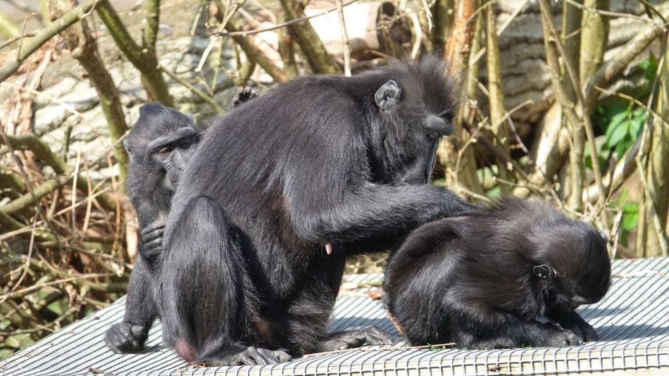 Monkey family Animal Themes Mammal Animals In The Wild Primate Black Color No People Animal Family Sitting Animal Wildlife Nature Full Length Day Togetherness Outdoors Chimpanzee Monkey Haystack First Eyeem Photo