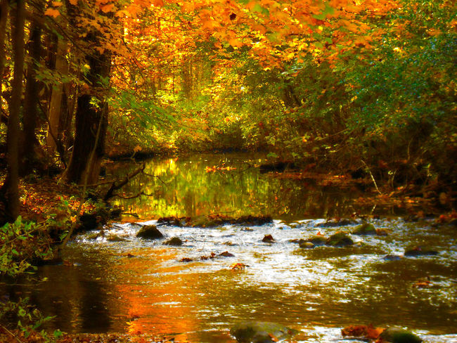 Golden Glow Autumn Autumn Colors Beauty In Nature Flowing Forest Green Lush Foliage No People Orange Outdoors Stream Tranquil Scene Tranquility Tree Water Yellow