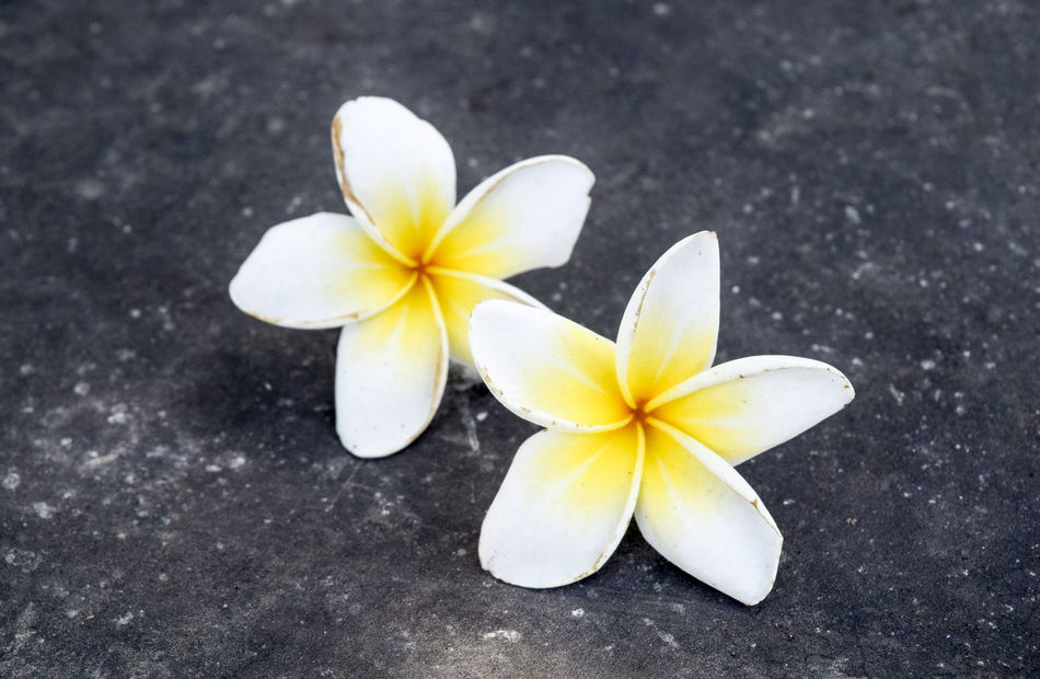 Beauty In Nature Close-up Day Flower Flower Head Fragility Frangipani Freshness Nature No People Outdoors Periwinkle Petal Yellow