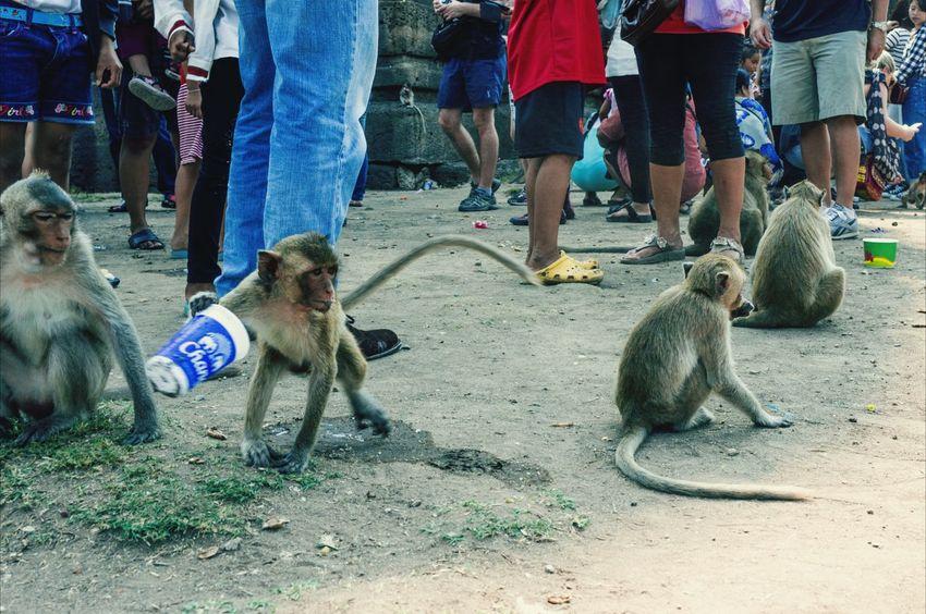 Monkey Festival Monkeys Thailand Lopburi
