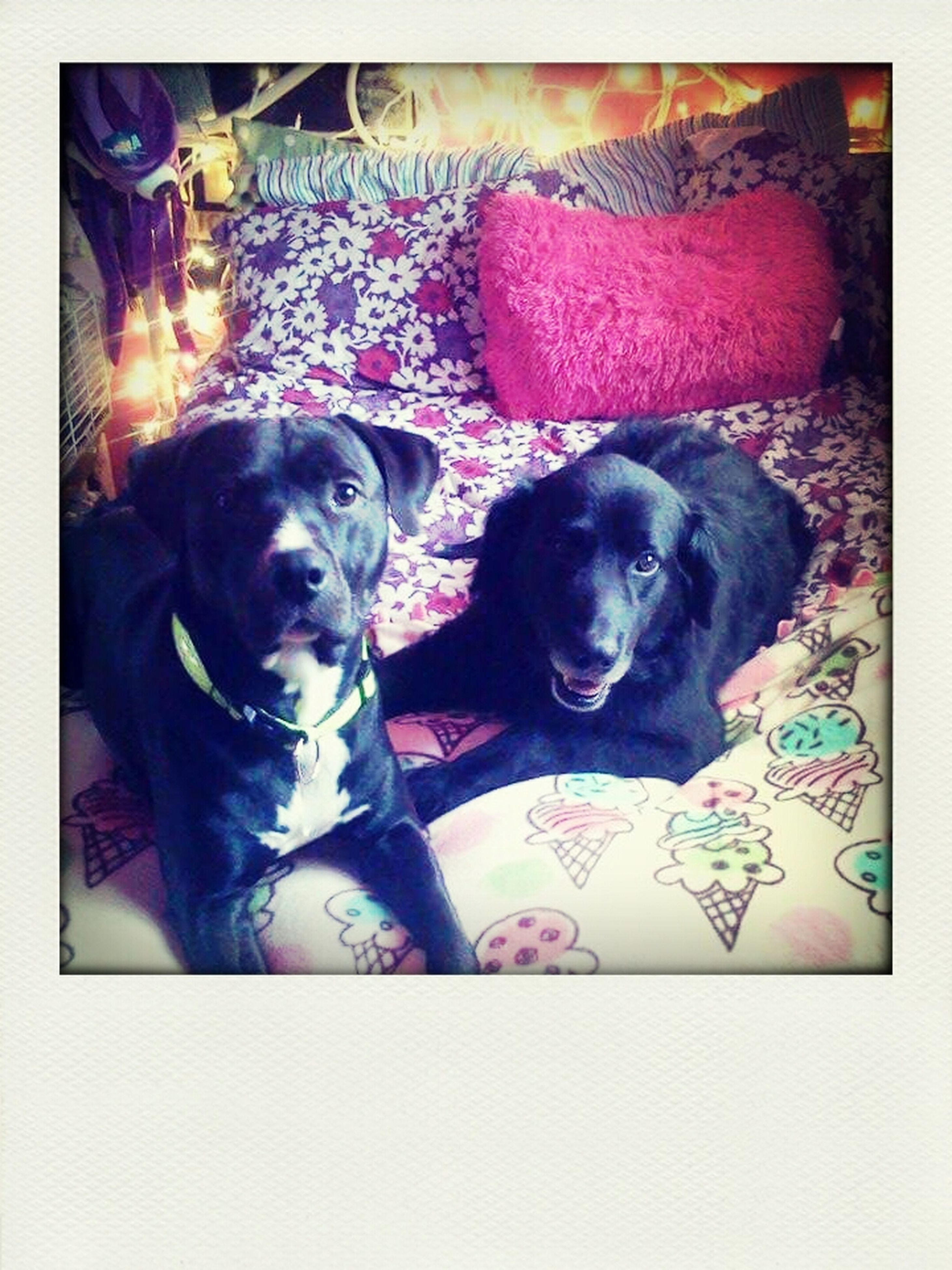 pets, domestic animals, animal themes, dog, mammal, one animal, indoors, transfer print, looking at camera, portrait, black color, auto post production filter, relaxation, sofa, lying down, resting, home interior, no people, high angle view, two animals