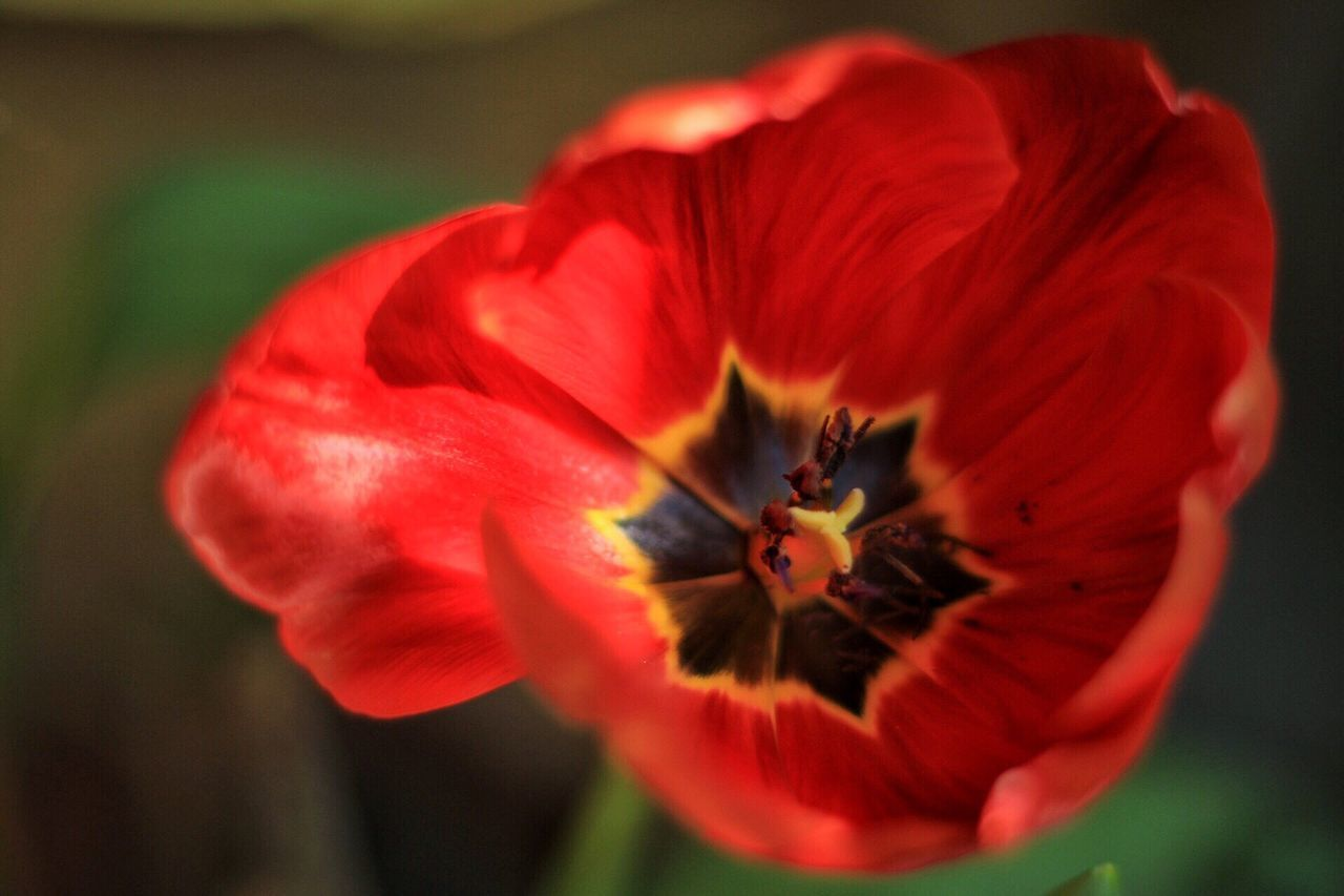 Red Tulip Flower Close-up Flower Head Petal Nature EyeEmNewHere
