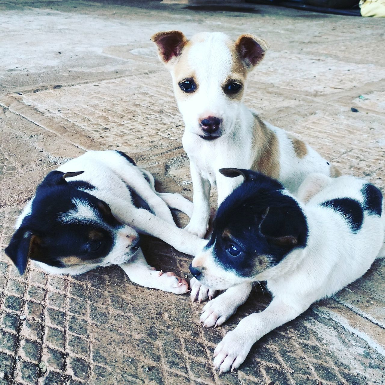 Domestic Animals Puppy Puppies At Karnataka India