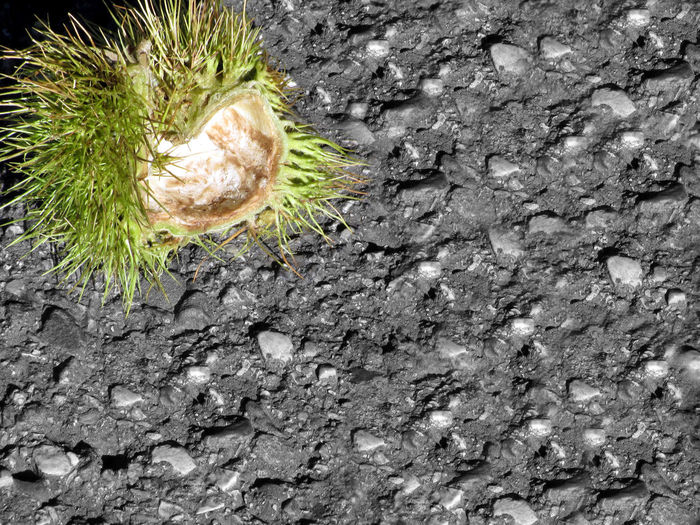 Green chestnut curl falling to earth Autumn Chestnut Curl Closeup Cut Out Detail Floor Flora Foliage Fruit Green Husks Leaf Mountains Nature Outdoors Outside Plant Rustic Scene Scenery Scenics Shiny Spiked Spiny Sweet