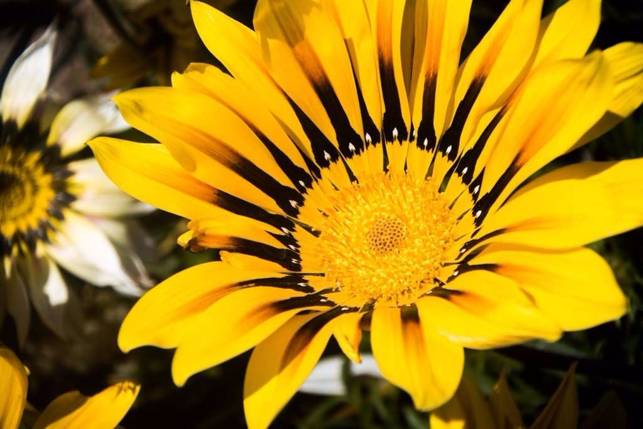 flower, petal, yellow, beauty in nature, flower head, fragility, freshness, nature, growth, gazania, blooming, pollen, close-up, no people, outdoors, day