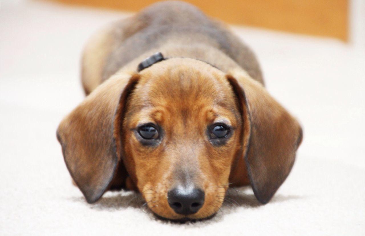 Dog Dachshund Puppy Cute