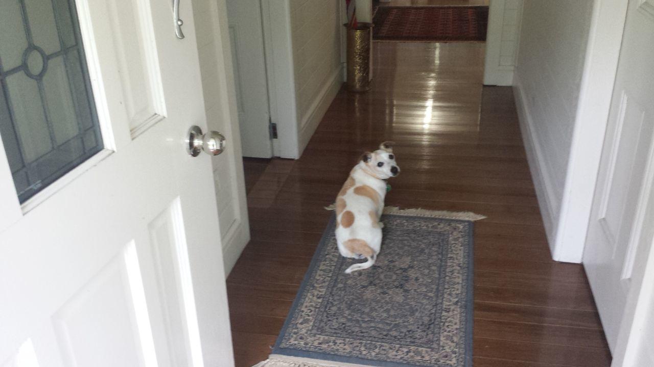 Dog Hallway Jack Russell Looking Back Pet Renovation Sitting Timber Floor Turkish Rug
