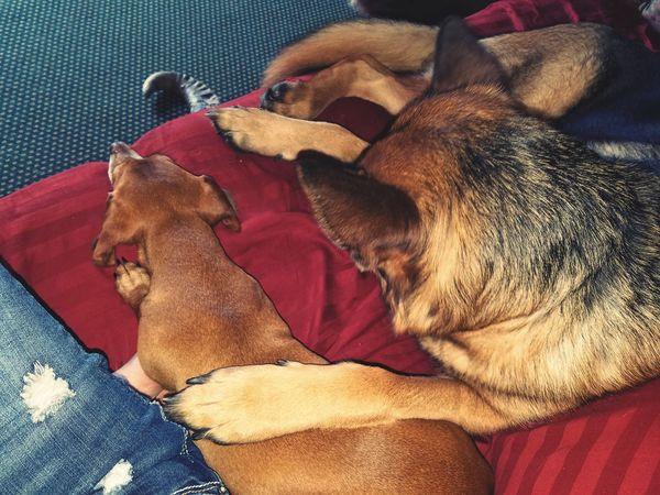 I got your back. German Shepherd Dachshund Best Buddy Nap