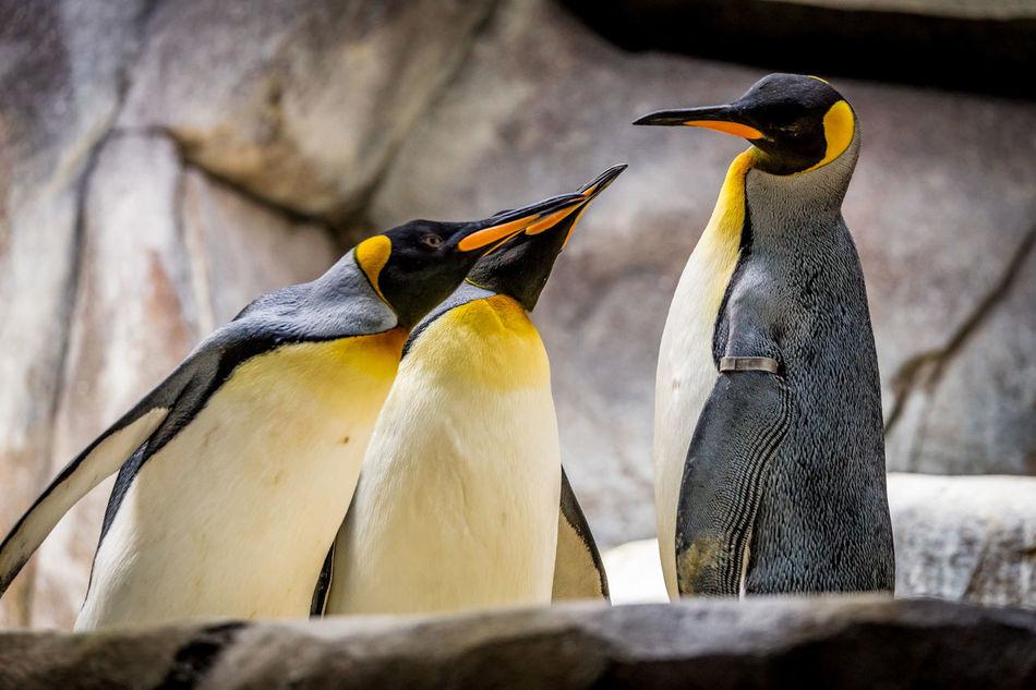 Beautiful stock photos of pinguin, Horizontal Image, animal themes, animals in the wild, beak