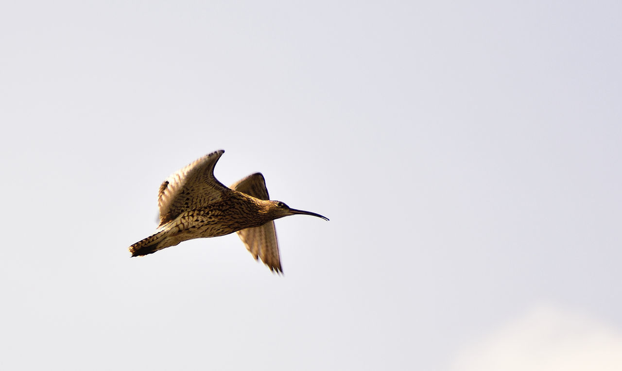 Beauty In Nature Bird Photography Birds Of EyeEm  Birds_collection Curlew Curved Beak Elegant Fight Nature Nature Photography Nature_collection Numenius Arquata Wading Bird