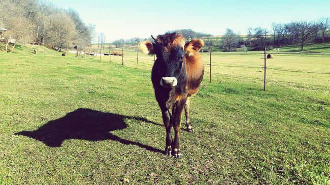 Fuzzy the cow. Grassfedbeef