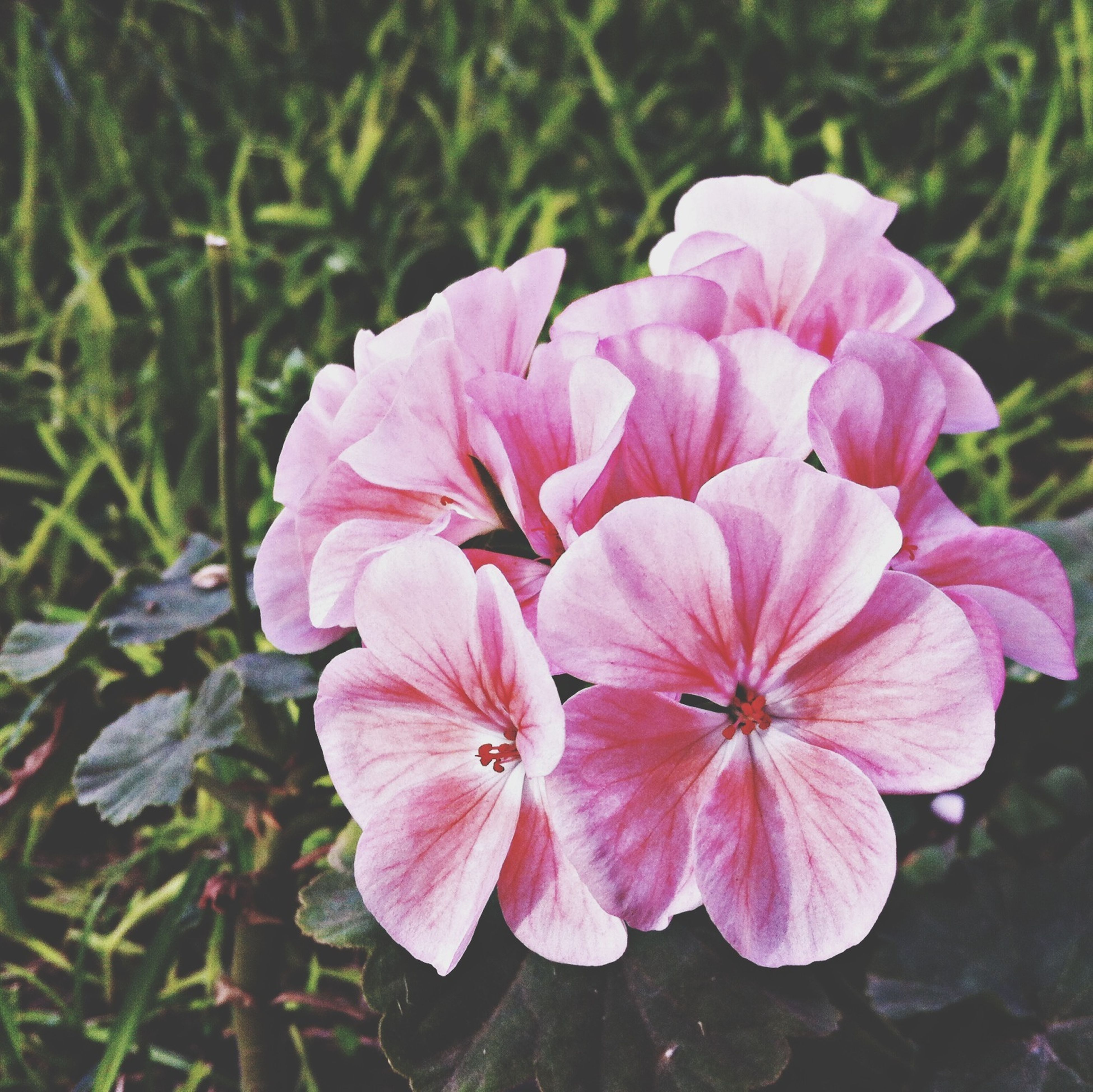 flower, petal, freshness, fragility, flower head, pink color, growth, beauty in nature, close-up, focus on foreground, blooming, nature, plant, in bloom, day, outdoors, high angle view, pink, stamen, park - man made space