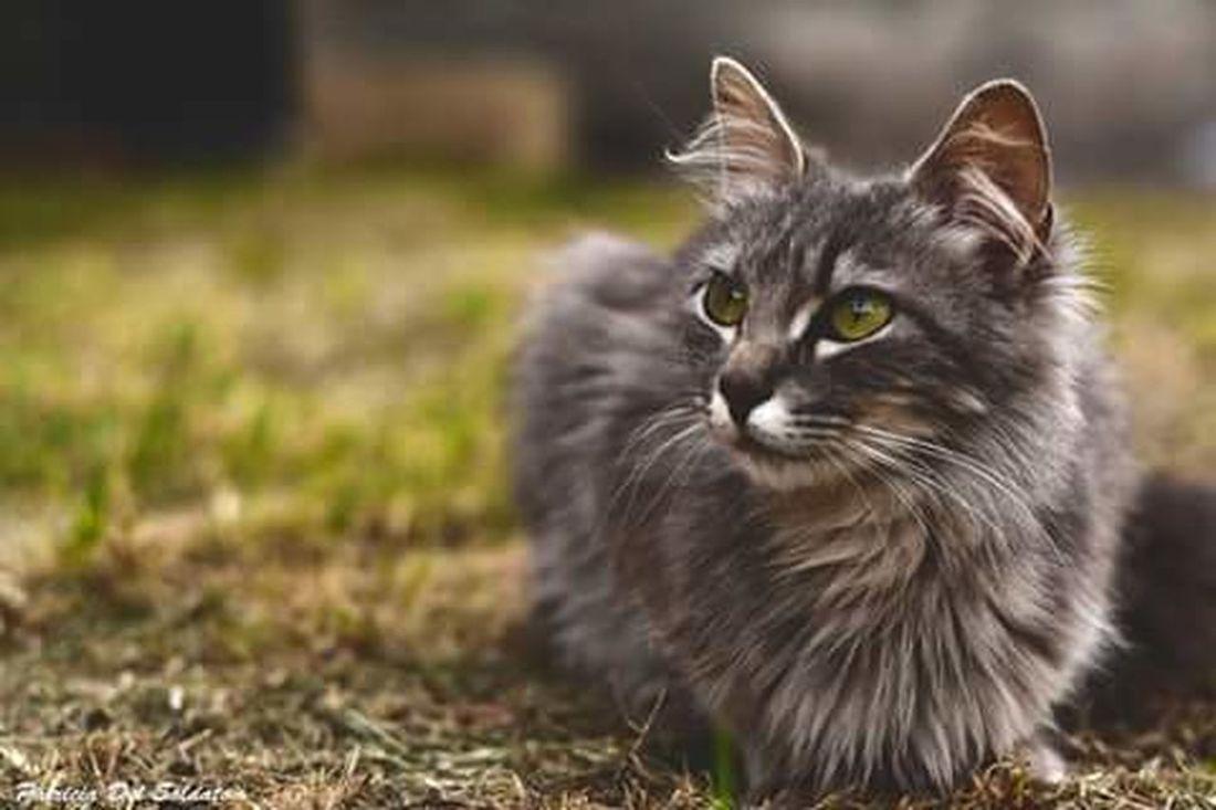 Una de mis gatitas ♥🐈 Nikon D7100 Nikonphotography Domestic Cat Pets Portrait Grass Feline Outdoors No People Eye4photography  Nikonphotographer Springtime Gatos Gatos😻 Mybackground