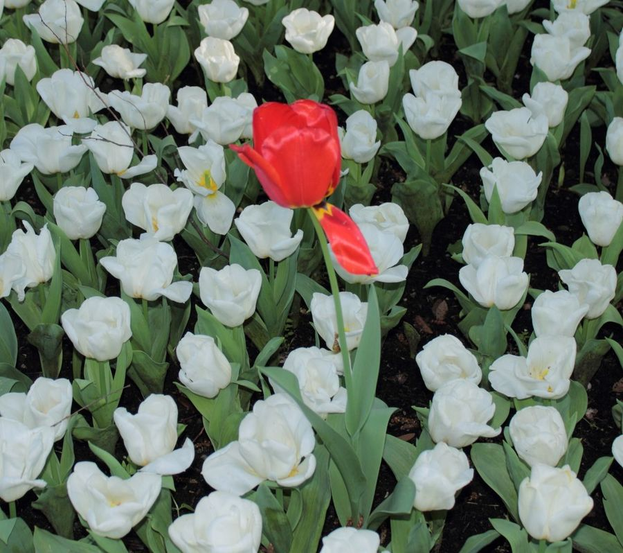 Backgrounds Beauty In Nature Blooming Flower Petal Plant Solitario Tulipano Rosso