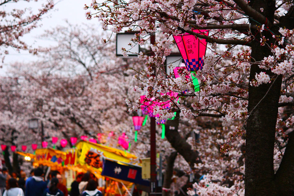 Beauty In Nature Blooming Branch Cherry Blossom Cherry Tree Close-up Day Flower Fragility Freshness Growth Hanging Nature No People Outdoors Pink Pink Color Sky Springtime Tree