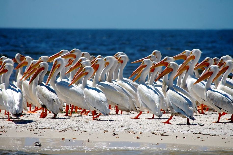 Albino Pelicans Flock Of Pelicans Cedar Key Florida Gulf Of Mexico Pelicans Beach Island Cedar Key National Wildlife Refuge