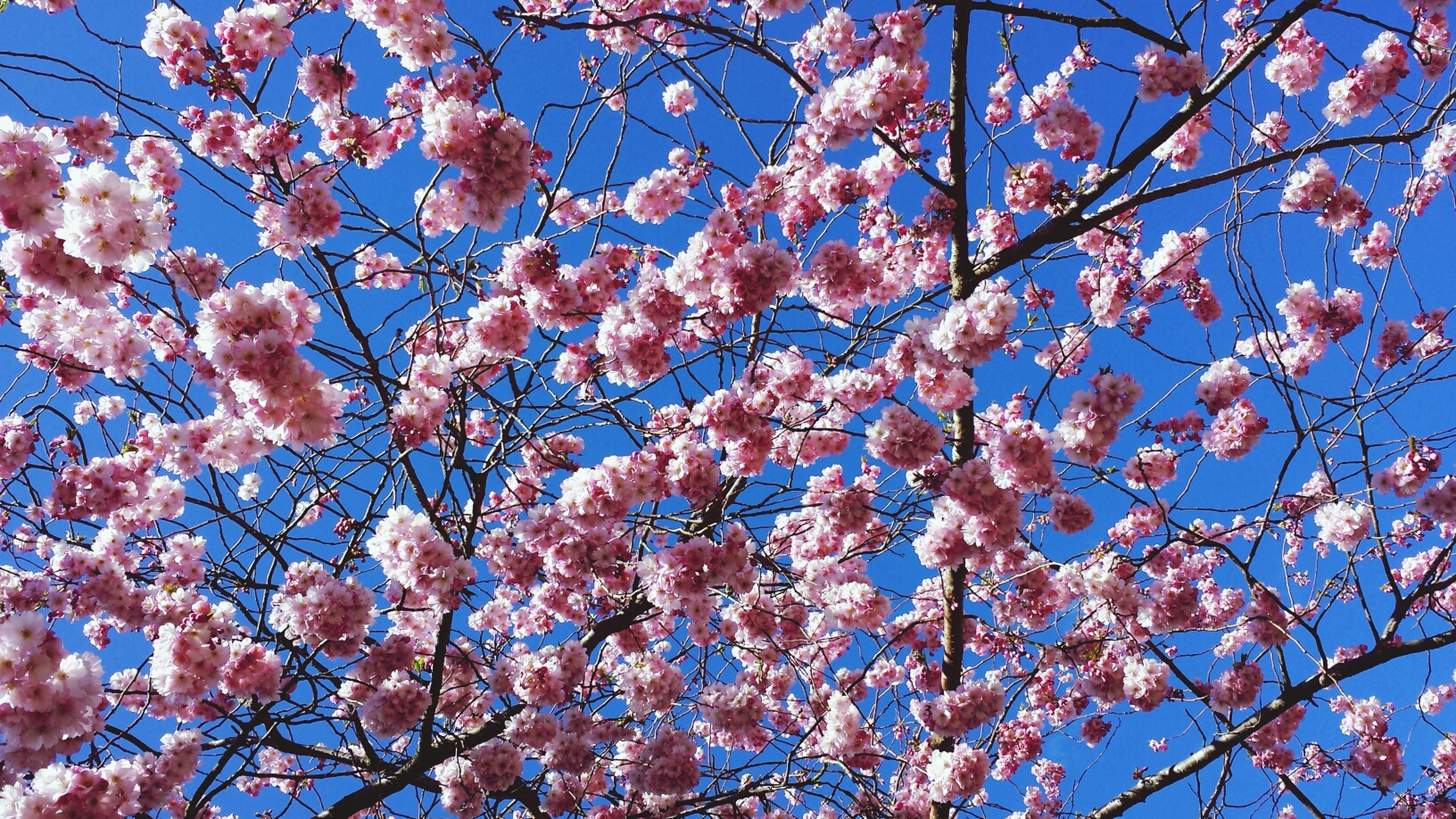 low angle view, branch, tree, flower, growth, blue, nature, beauty in nature, clear sky, blossom, sky, cherry blossom, freshness, day, fragility, outdoors, pink color, cherry tree, springtime, no people