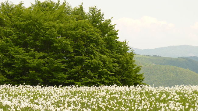 Flowering of the white narcissus Mt Antola Beauty In Nature Day Field Flower Grass Green Green Color Growing Growth Idyllic Landscape Lush Foliage Mountain Mountain Range Nature No People Non-urban Scene Outdoors Plant Scenics Sky Tranquil Scene