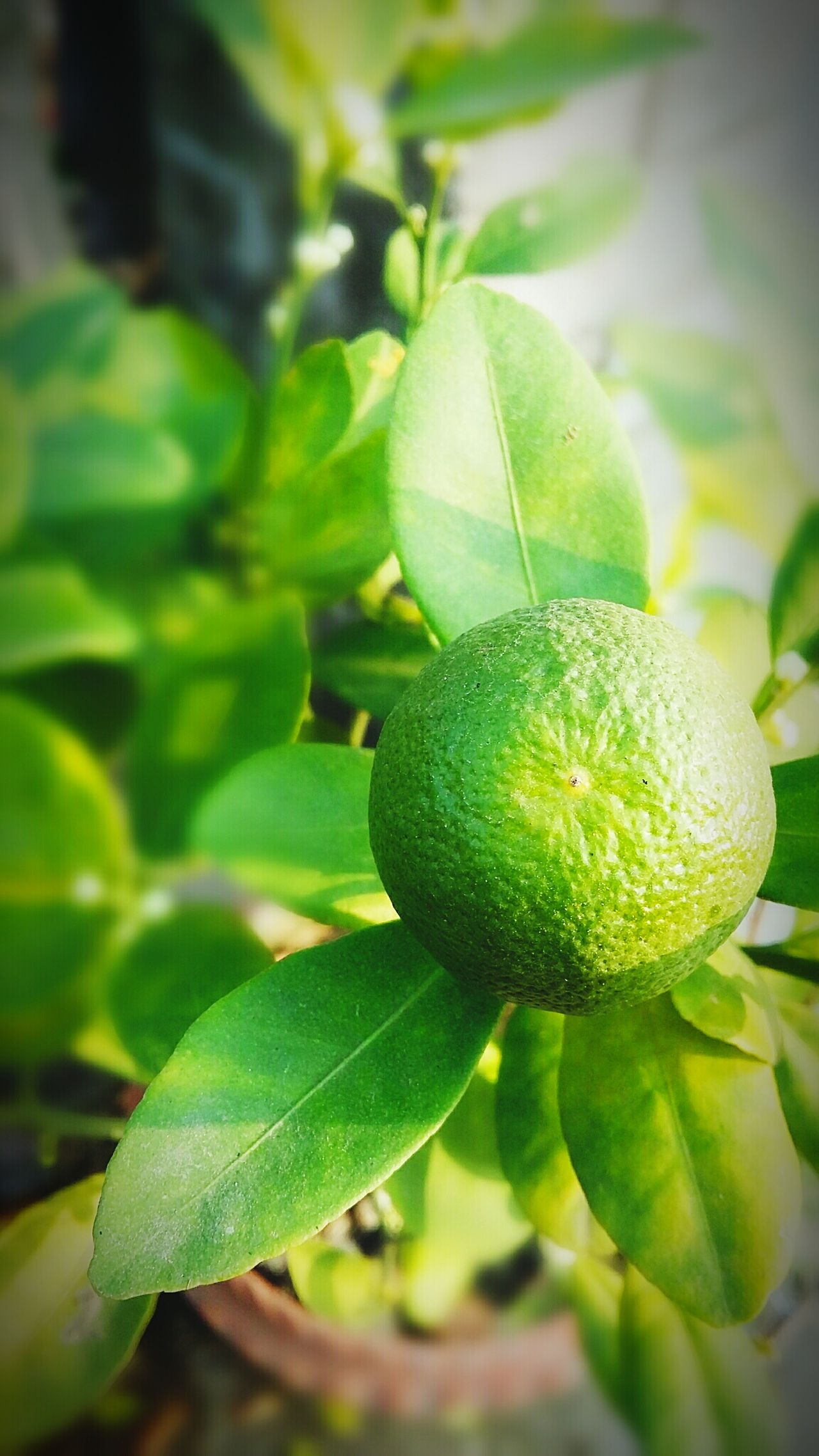 Lemon from my garden..... Taking Photos Hello World Check This Out Eyeem GalleryFruit Fruits Lemon Sunrays Through The Leaves